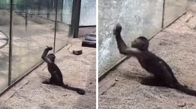 Video Captures Zoo Monkey Sharpening A Rock, Later It Uses It To Smash Its Glass Enclosure