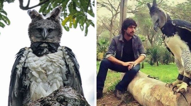 Meet The Harpy Eagle, A Bird So Big, People Think It's A Person In Disguise